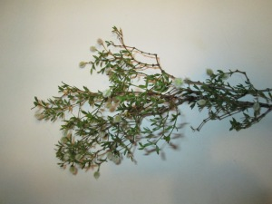 Dry leaves of creosote bush.  Collect more than you think you need!