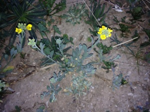 This year, if you spy Lesquerella gordoni (bladderpod), it will stand out like little yellow stars on the bare ground. (MABurgess photo)