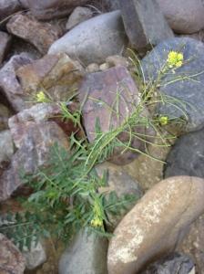 """Wild arugula"" or London rocket (Sisymbrium irio) provides zesty greens, flower garnish, and later, mustard seeds when mature. (MABurgess photo)"