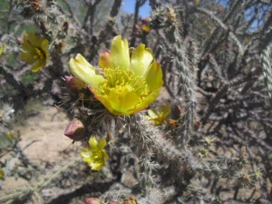 stamen strands in staghorn cholla flower (B.Sandlin photo)