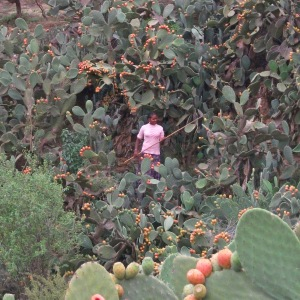 A very large prickly pear plant in Irob, Ethiopia.