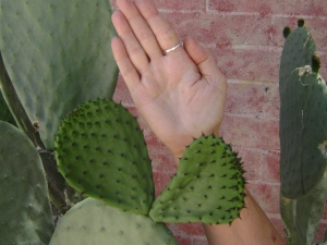 Pick prickly pear pads when they are the size of your hand.