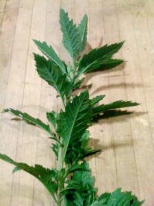 Chenopodium Dysphania ambrosioides by iamtexture