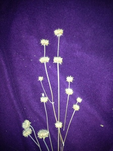 wild native chia seedheads (Salvia columbariae) ready to winnow (MABurgess photo)