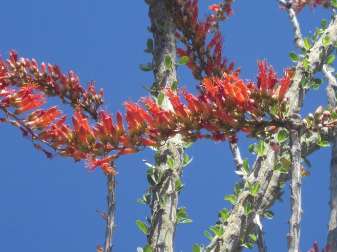 Ocotillo blossoms