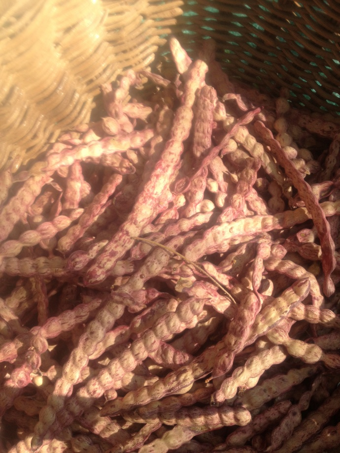 Select sweet velvet mesquite pods dry and ready to grind (maburgess photo)