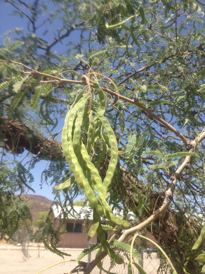 Velvet mesquite pods (Prosopis velutina) in green phase (maburgess photo)