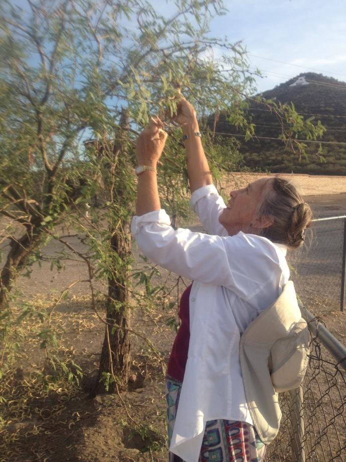 Harvesting ripe velvet mesquite pods--an old Chuk-shon tradition (RodMondt photo)