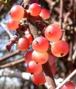 When ripe, the berries turn translucent and fall off the plant easily. Photo by S. Shebs.