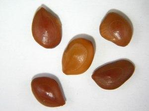 Prosopis_velutina_seeds