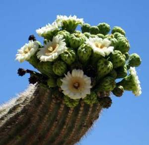 Saguaro flowers and unripe fruit. Photo by Rael B.