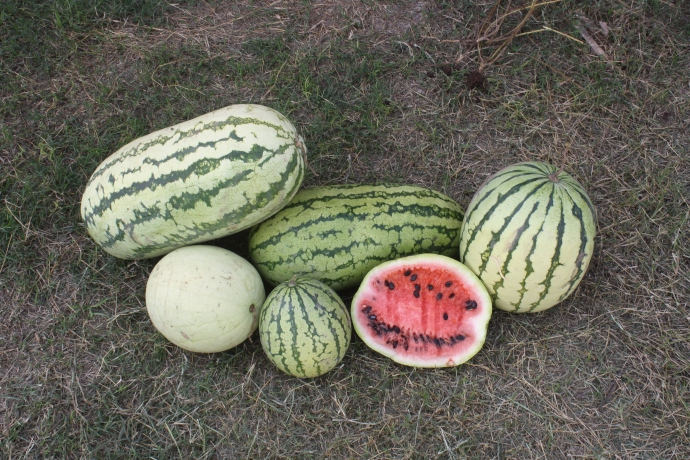 Native Mayo watermelon from the hot coastal plains of Sonora (seed from NativeSeeds/SEARCH)