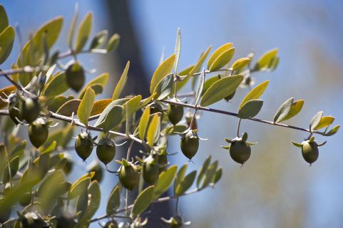 jojoba green fruit