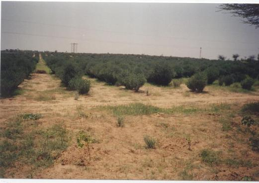 jojoba plantation in India