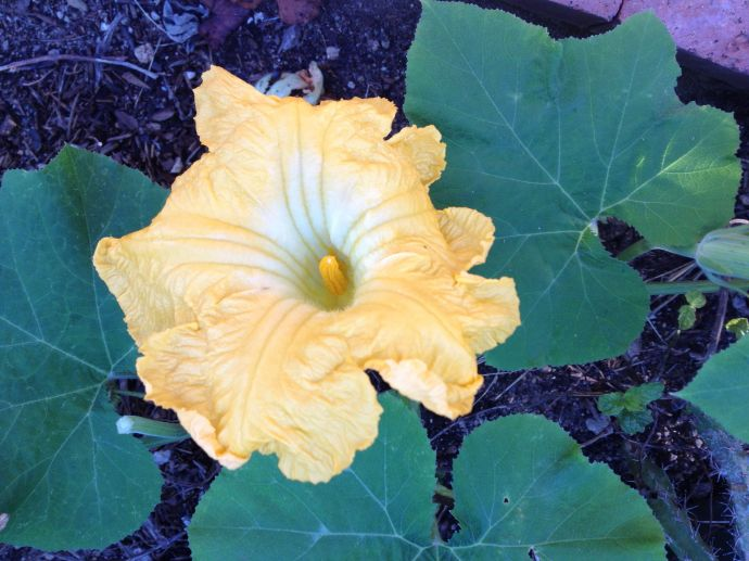 Male flower Magdalena Big Cheese squash (MAB photo)