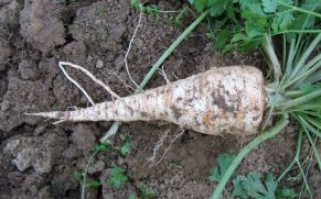 Petroselinum crispum var tuberosum root