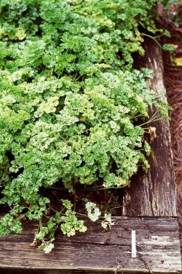 Petroselinum neopolitanum curley parsley_PA_08