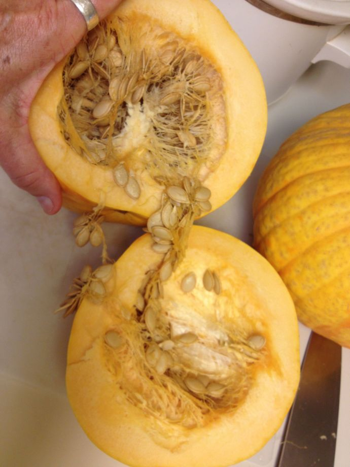Rich flesh and seed of Tarahumara pumpkin (MABphoto)