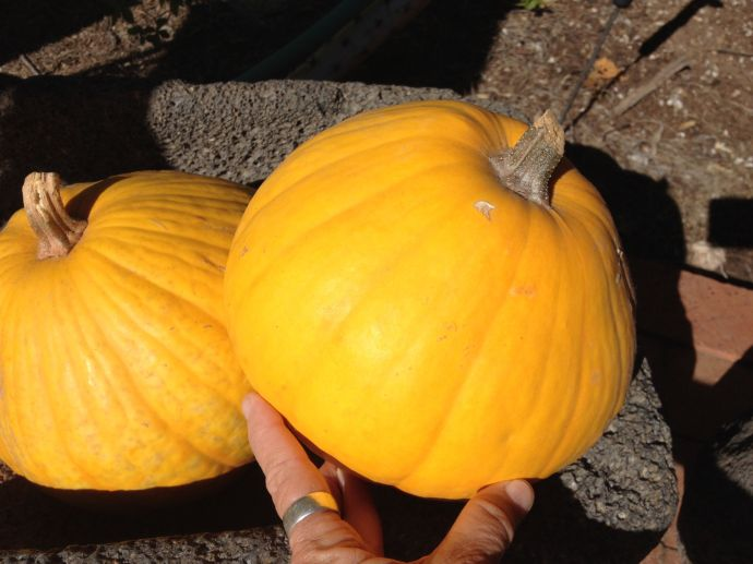 Tarahumara pumpkins Oct2014 from 2013 harvest (MABphoto)