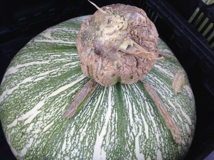 "Tohono O'odham Ha:l ""Papago Pumpkin"" showing characteristic corky attachment and colorful stripes (MABphoto)"