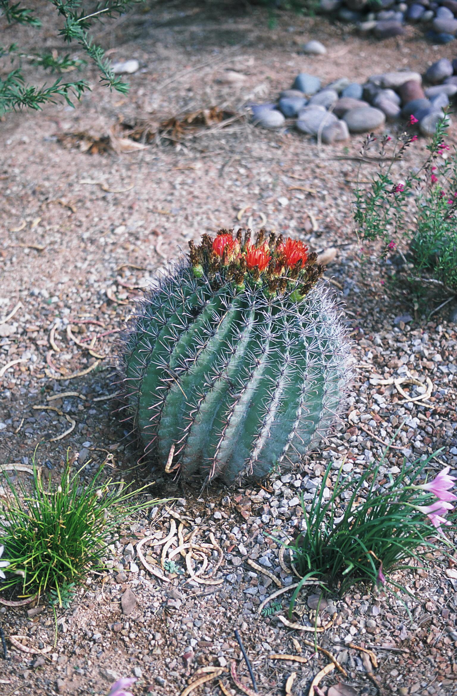 Barrel Cactus Fruit Barrel Cactus Can Make a