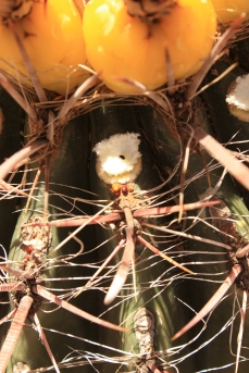 ferocactus IMG_2719