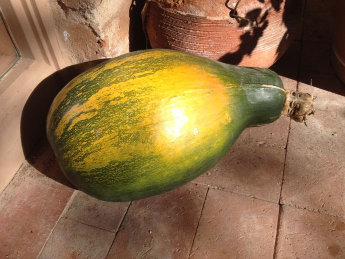 Tohono O'odham cushaw pumpkin known as Ha:l (MABurgess photo)