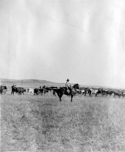 Cowboy_herding_cattle_20060805173434