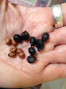 Washingtonia fruit is mostly seed, but the small amount of pulp has a group impact (MABurgess photo)