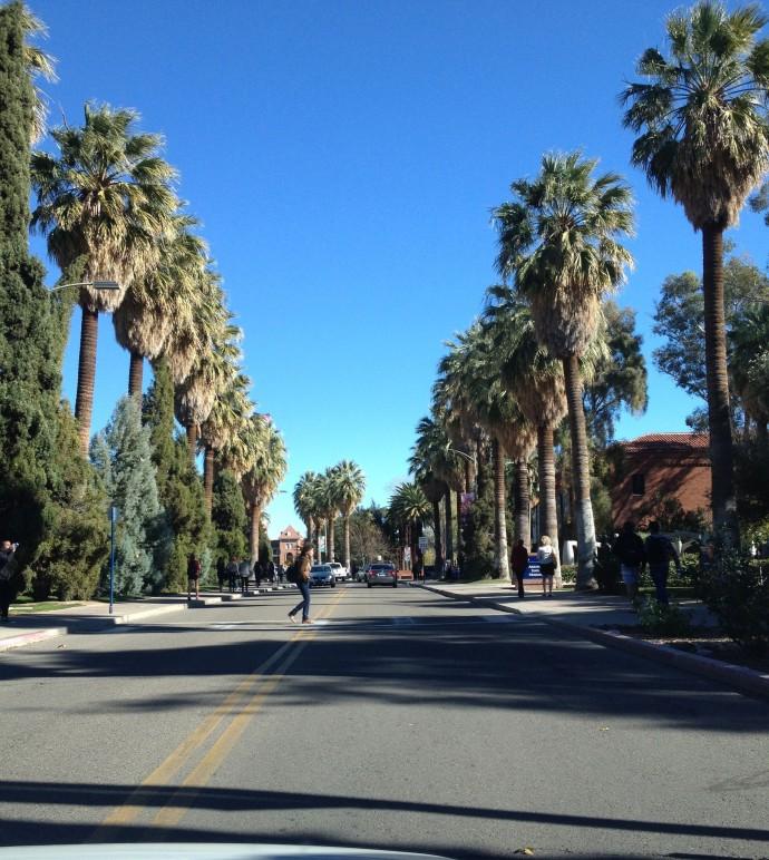 Washingtonia filifera near UA main gate (R.Mondt photo)