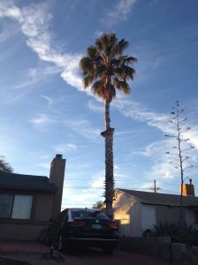 Washingtonia robusta in a S.Tucson landscape