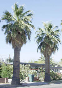 Our Native Fan Palm Washingtonia filifera, UA photo (Note the stout trunk)
