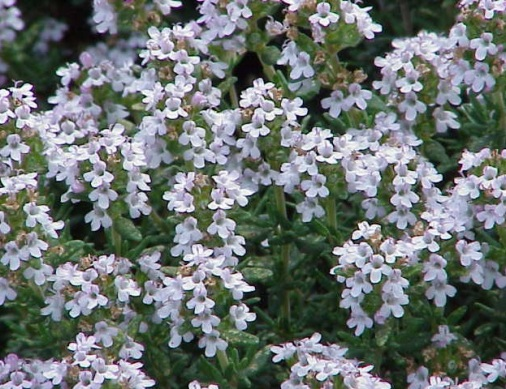 Thymus_vulgaris_bloom_001 crop