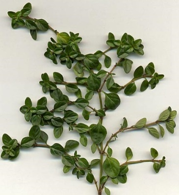 Thymus_vulgaris_branch crop