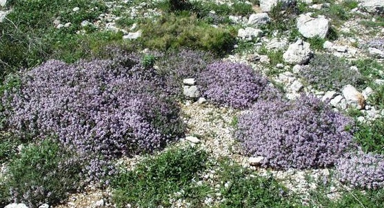 Thymus_vulgaris_habitat_003 crop