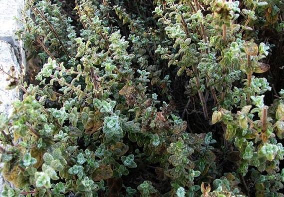 Thymus_(zaatar)_Jerusalem_BG crop