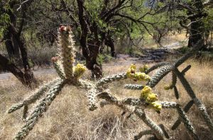 cane cholla in bud with last year's persistent yellow fruits