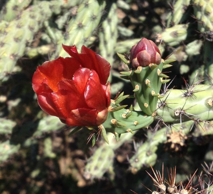 red staghorn cholla flower and bud (MABurgess photo)