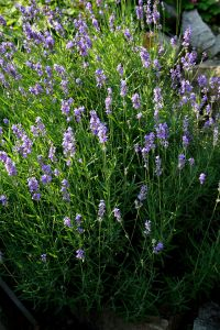 Lavandula_angustifolia_prg_1