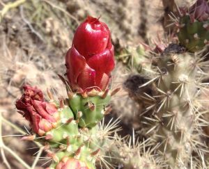 cholla feeds many desert creatures (MABurgess photo)