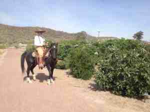 Vaquero in the Orchard of heirloom Mission Period fruit trees at San Ysidro Fiesta 2014 (MABurgess photo)