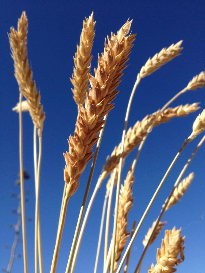 Ripened seed heads of organic heirloom Padre Kino White Sonora Wheat from BKWFarms in Marana (MABurgess photo)
