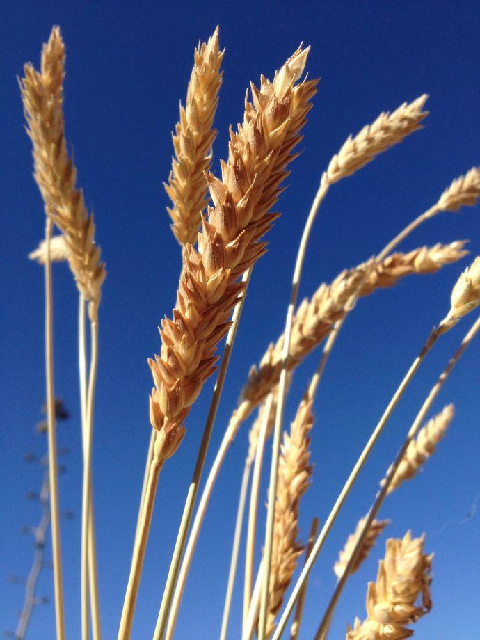 Ripened seed heads of organic heirloom Padre Kino White Sonora Wheat from BKWFarms in Marana (MABurgess photo)