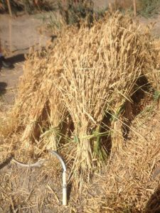 Sheaves of heirloom White Sonora Wheat hand-harvested at Mission Garden