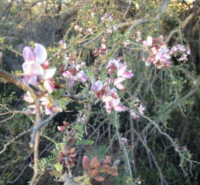 Desert Ironwood (Olneya tesota) still in flower!  This should be a good bean year for ironwood.