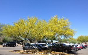 Desert Museum hybrid palo verde--thanks to St Mary's Hospital for beautiful landscaping!