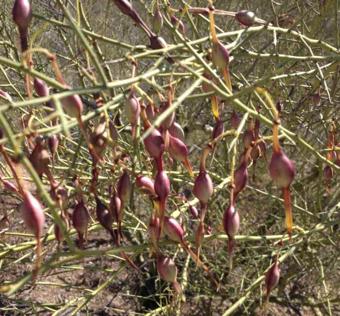 Foothills palo verde pods   ready for eating off the tree! (maburgess photo)