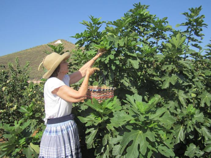 Picking figs at the Mission Garden.