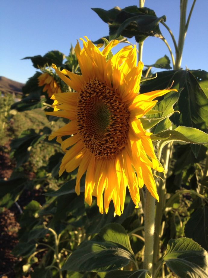 A NativeSeeds/SEARCH heirloom sunflower--colorful protection for a garden margin