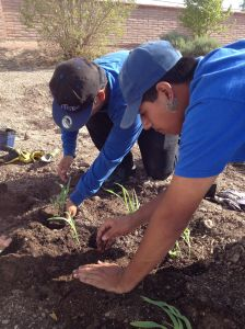 Goodworks Volunteers Barney and Oscar planting chapalote corn seedlings at Mission Garden